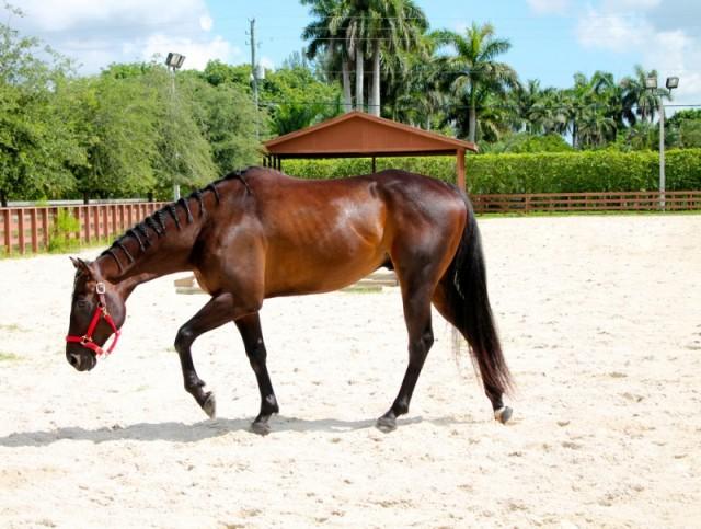 Venta de caballos en Miami